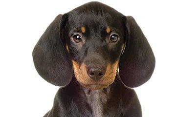 Alle hunde kan blive ramt af blodøre.