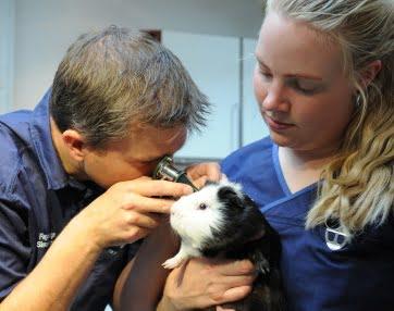 Marsvin undersøges af dyrlæge på Vejle Dyrehospital