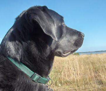 En labrador der kigger ud over Vejle Fjord