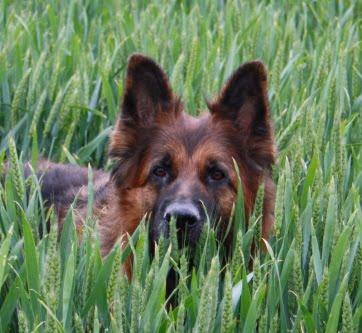 Billede af schaeferhund some en klient fra VInding har sendt os. Schaeferhunden har bl.a. være til vaccination på klinikken.