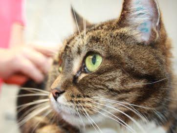 Her en kat vi fik ind fra Fredericia. Den skal under bedøvelse, for at operationen kan begynde.