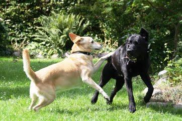 To søde hunde leger på plænen foran vores dyreklinik her i vejle. Disse to klienter kom fra hhv. Kolding og Horsens.