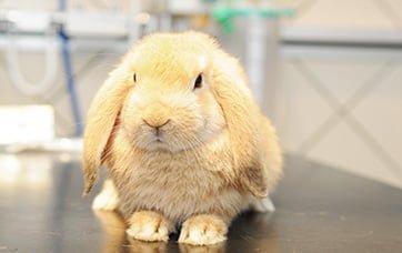 Kastration af kanin i Vejle