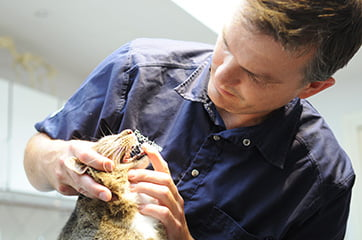 Dyrlæge Simon Grove undersøger tandsæt på kat fra Mølholm
