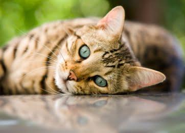 Dyrehospitalet i Vejle foretager sundhedsundersøgelser på katte